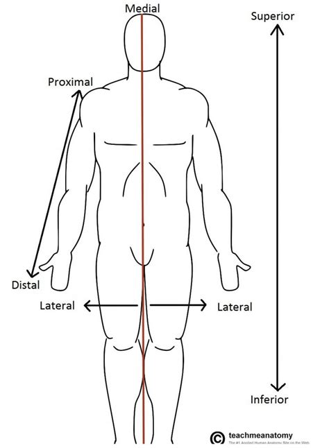 anatomical position diagram anatomical terms of location anterior posterior