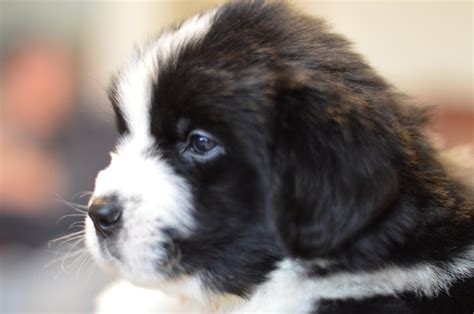 newfoundland puppies for sale in wi newfies newfoundland puppies for sale newfies