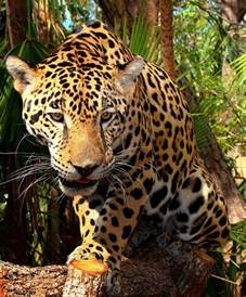 Jaguars Meaning Keystone Species