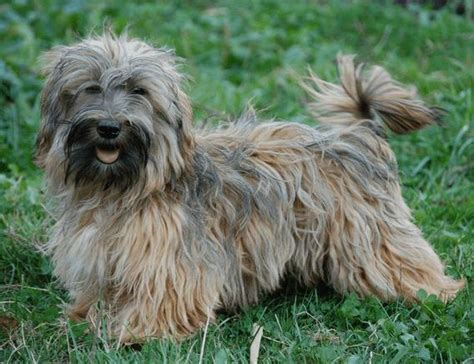 havanese colors mahogany colors colours in havanese havaneser farben info chocolate brown colour color