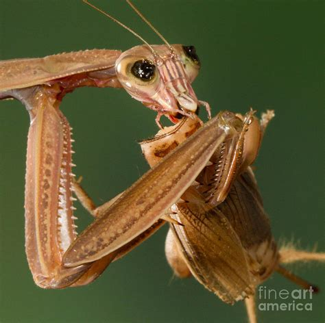 praying mantis feeding photograph by jerry fornarotto