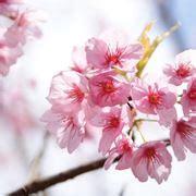 significato fiori giapponesi fiore giapponese significato fiori fiore giapponese
