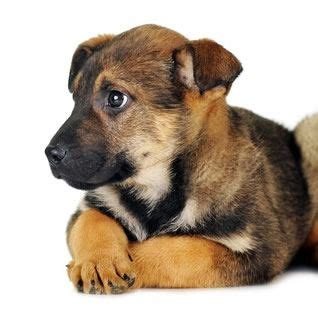 tulsa adoption 81 best ideas about dogs on adoption yorkie and dandie dinmont terrier