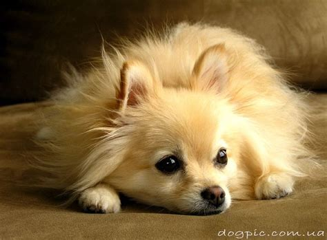 german pomeranian german spitz vs pomeranian breeds picture