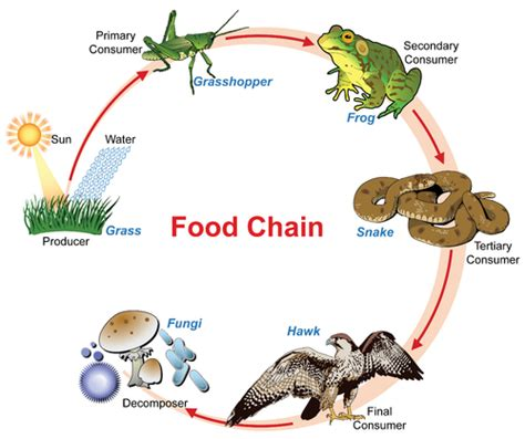 animal food chain diagram energy flow in ecosystems 183 ss notes