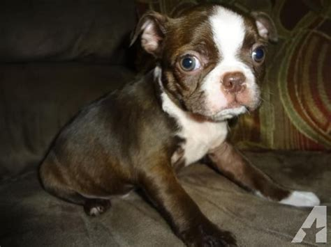 boston terrier puppies iowa akc ckc boston terrier puppies for sale in charles city iowa classified