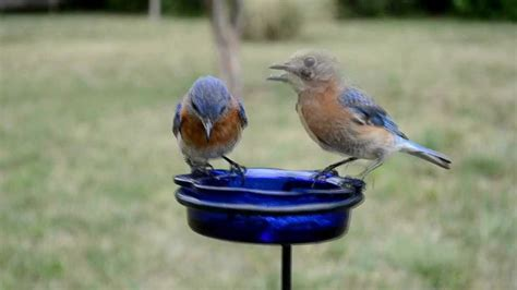 what do backyard birds eat wild bird house bluebirds feeding a nesting pair eating