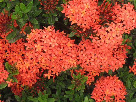 santan flowers flowers