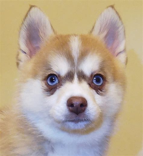 pomeranian husky pictures pomsky 1 resource for pomeranian husky mix