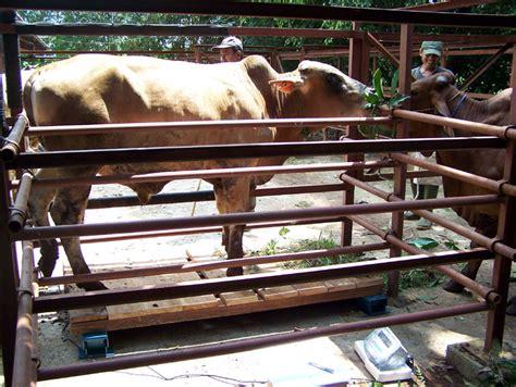 Timbangan Hewan Dengan Pagar penimbangan berat sapi