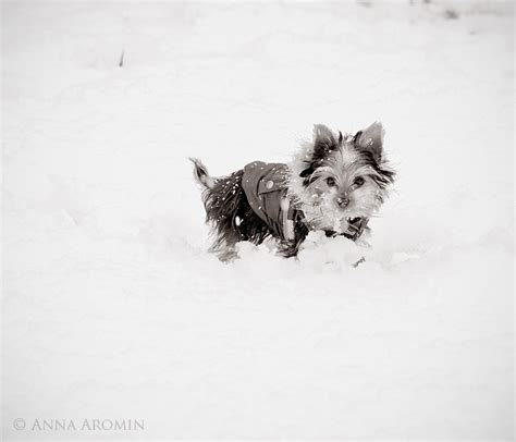 yorkies in the snow yorkie in the snow by inktice on deviantart