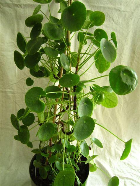 idee de deco salle de bain 4001 17 meilleures images 224 propos de pannenkoekenplant pilea
