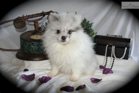 pomeranian for sale tx pomeranian puppy for sale in fort worth breeds picture