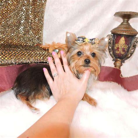 wendy s yorkies terrier puppies for sale akc teacup yorkie breederyorkie breeds picture