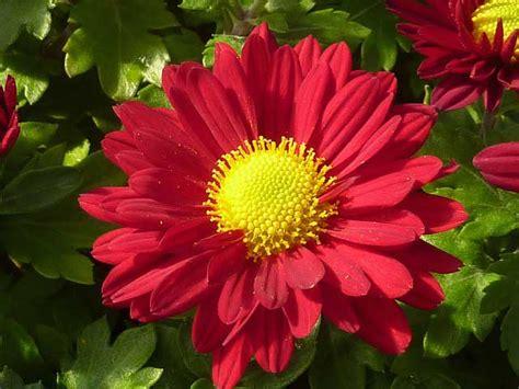 Chrysanthemen Vermehren by Chrysanthemen Winterhart Und Sp 228 Tbl 252 Hend