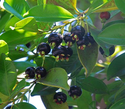 Tanaman Black Grumichama 1000 images about berries cherries on