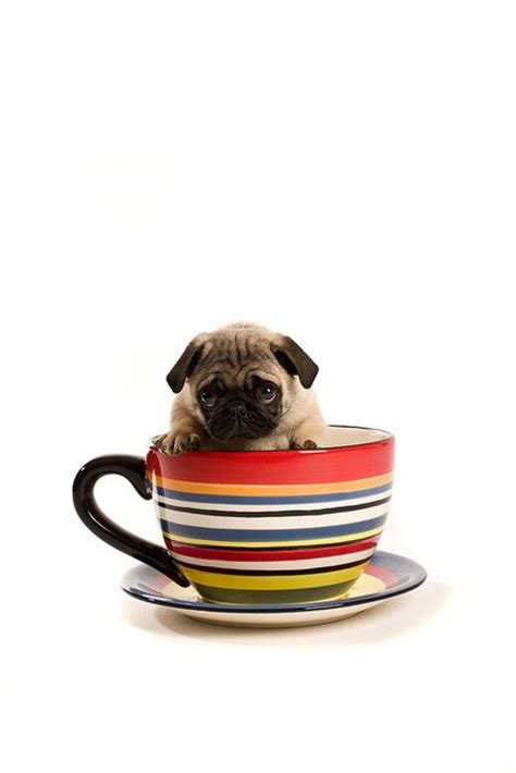 pug teacup puppies the 25 best teacup pug ideas on baby pugs teacup animals and baby dogs
