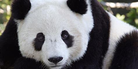 www panda adopt a panda smithsonian s national zoo