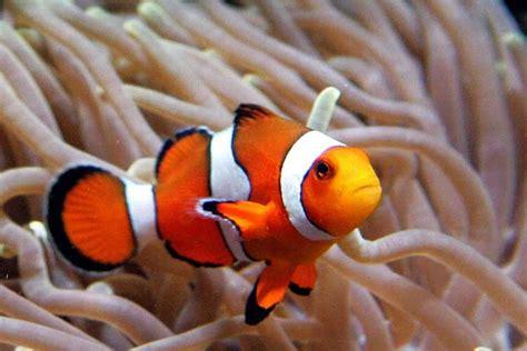 Ikan Nemo clown fish