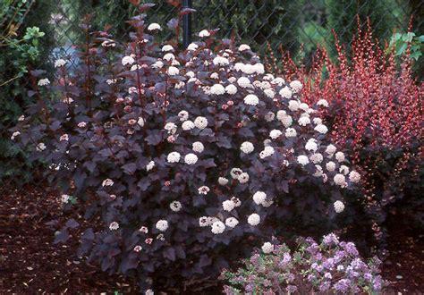 physocarpus opulifolius diabolo physocarpus opulifolius diabolo 174 landscape plants