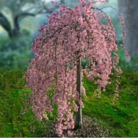cherry tree b b ballyconnell best 25 cherry tree ideas on