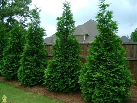 Arborvitae Patio 25 Best Ideas About Evergreen Trees Landscaping On