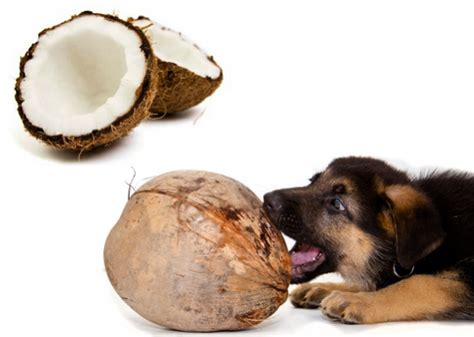 coconut and dogs coconut miracle care for your or cat thegoodstuff