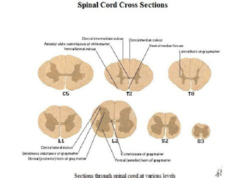 cross section of spinal cord at different levels spinal cord