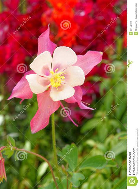 columbine flowers royalty free stock photos image 33156438