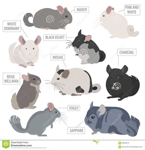 chinchilla breeds icon set flat style on white pet rod