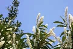 wann pflanzt kirschlorbeer pflanzzeit vom kirschlorbeer 187 wann pflanzt am besten