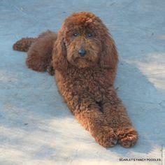 moyen poodle lifespan simba the moyen a sire from scarlet s fancy poodles