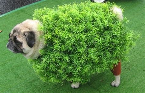 pugs in costumes pictures 16 of the funniest pug costumes pet orb