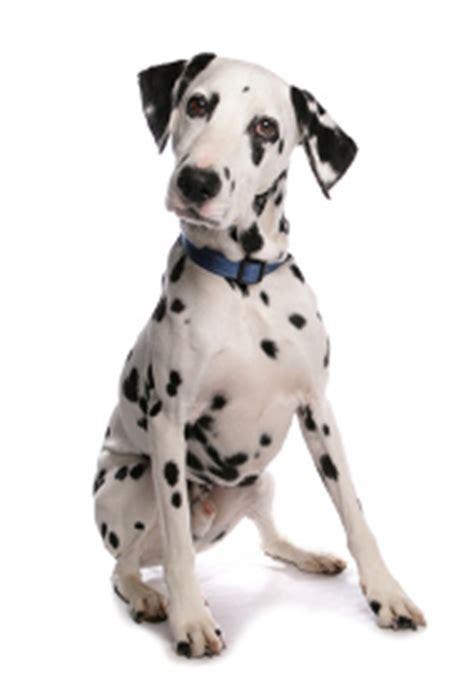 how much do dalmatian puppies cost dalmatian dalmatian temperament dalmatian shedding