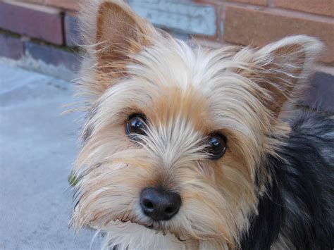 yorkie and terrier mix yorkie terrier related keywords suggestions yorkie terrier keywords