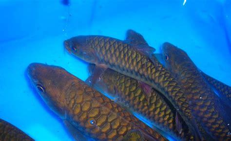 Bibit Ikan Hias Arwana ikan hias bibit ikan mahseer alias ikan gariang alias ikan semah