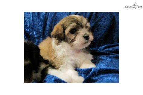 havanese puppies for sale wisconsin havanese for sale for 1 500 near la crosse wisconsin 9b6ece7f a971