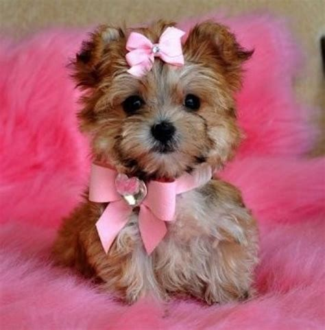 cutest teacup puppies morkies morkie poos and yorhies picture puppy yorkie in pink