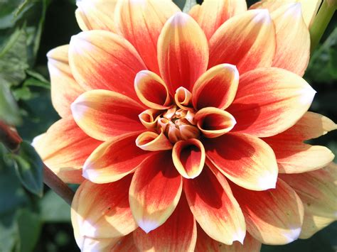 file dahlia pinnata jpg wikimedia commons