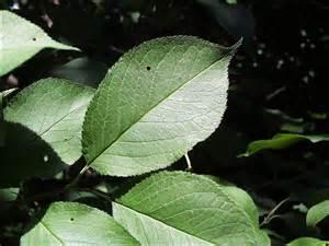 isu forestry extension tree identification wild plum