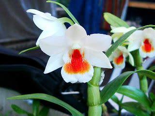 Pupuk Bunga Gaviota tumbuhan pemupukan pada tanaman anggrek dendrobium