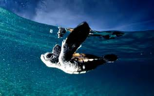 Free computer backgrounds and screensavers ocean baby turtles photos