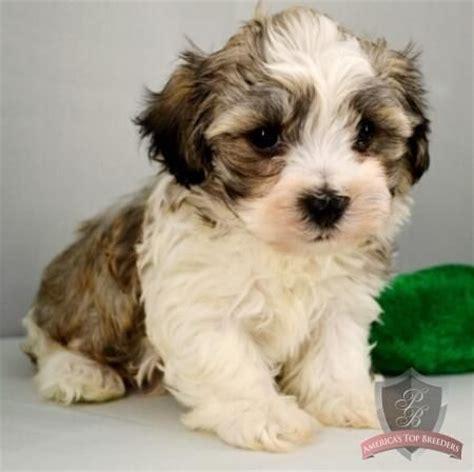 havanese de havanese puppy chad havanese and cotton de tulear abyssinian puppys