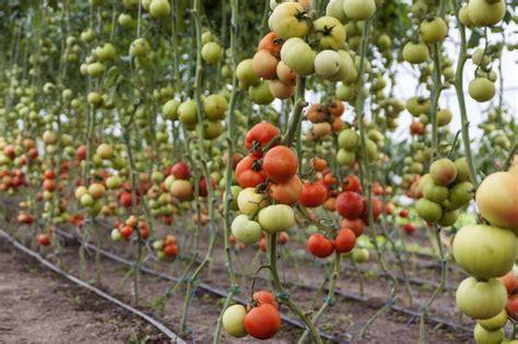 come piantare i pomodori in vaso come coltivare il pomodoro in orto biodinamico