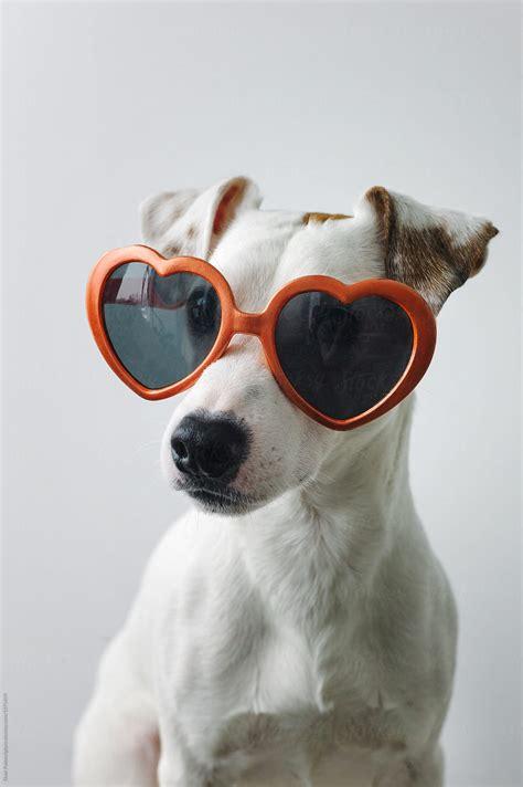small dog wearing sunglasses  duet postscriptum love valentines day stocksy united