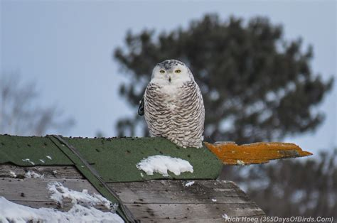 A Snowy Owl Papercraft Resting On My Laptop By - photographing the side using the sony nex 5t yr 2