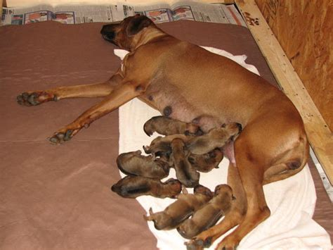 milk fever in dogs eclsia symptoms in dogs and treatment