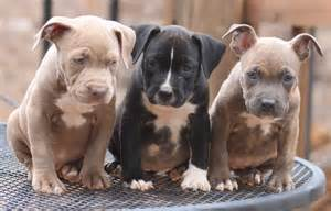 pitbull puppy wallpaper pitbull puppies wallpaper hd dogs wallpaper
