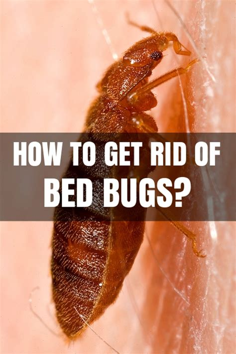 how can u get rid of bed bugs how to get rid of bed bugs at home how to kill bed bugs