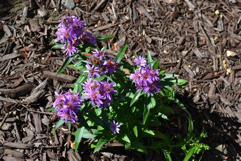 fall flowering perennials purple dome aster is a fall flowering perennial plant